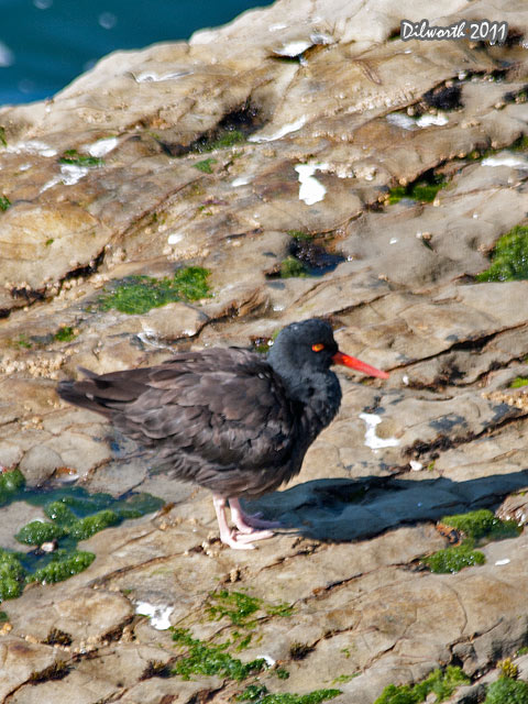 v968m3 Black Oystercatcher