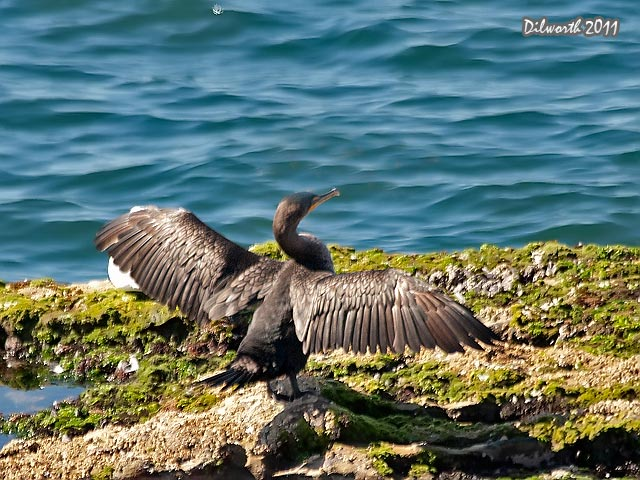 969 Double-crested Cormorant