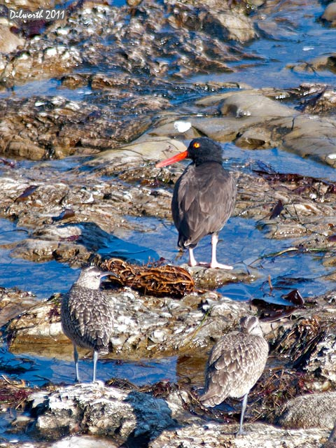 v977 Black Oystercatcher