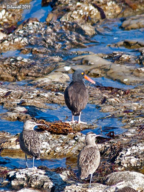v977m2 Black Oystercatcher