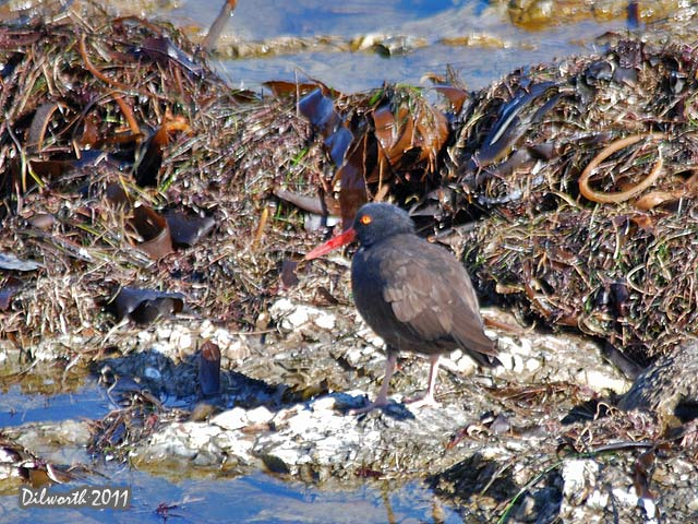 977m3 Black Oystercatcher