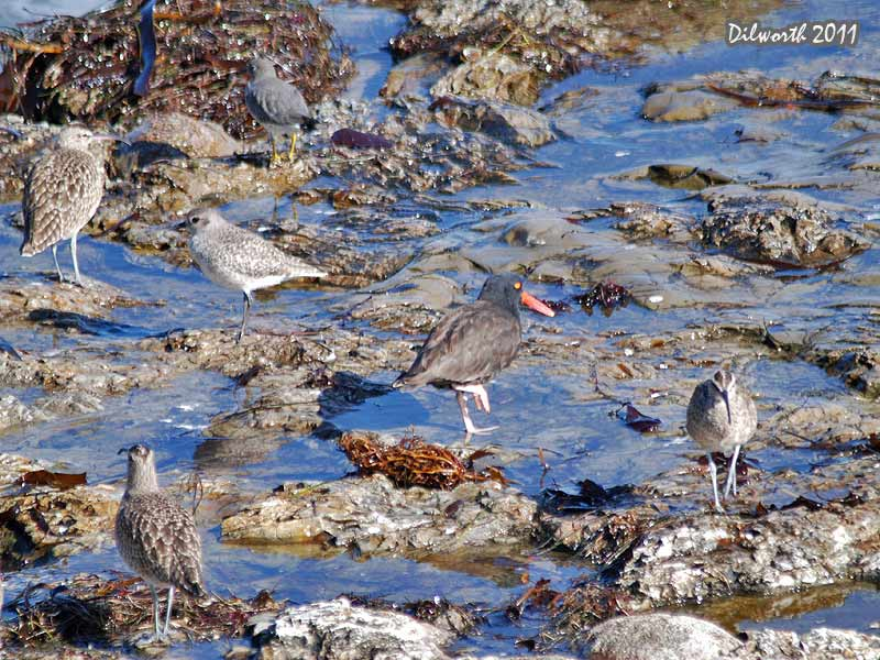978m Multiple Shorebirds