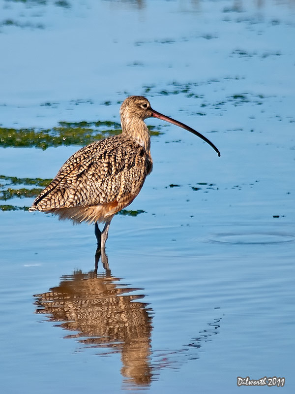 v981 Long-billed Curlew