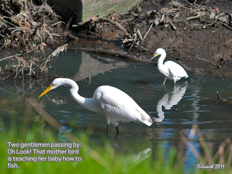 985 Snowy Egret and Great Egret