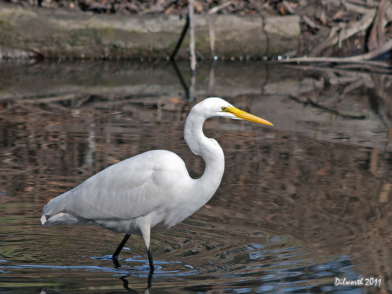 986 Great Egret