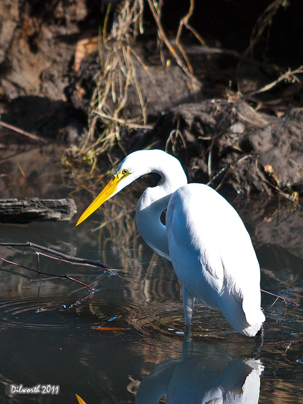 v986m1 Great Egret
