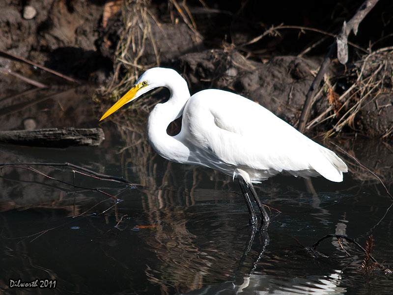 986m2 Great Egret