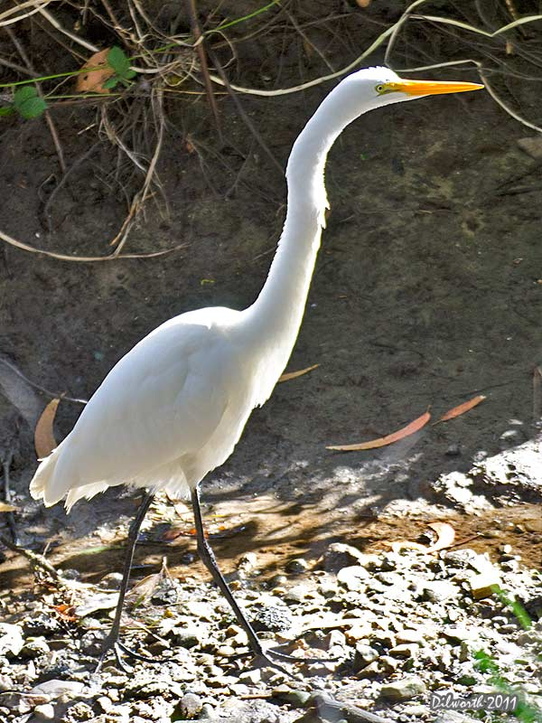 v990 Great Egret