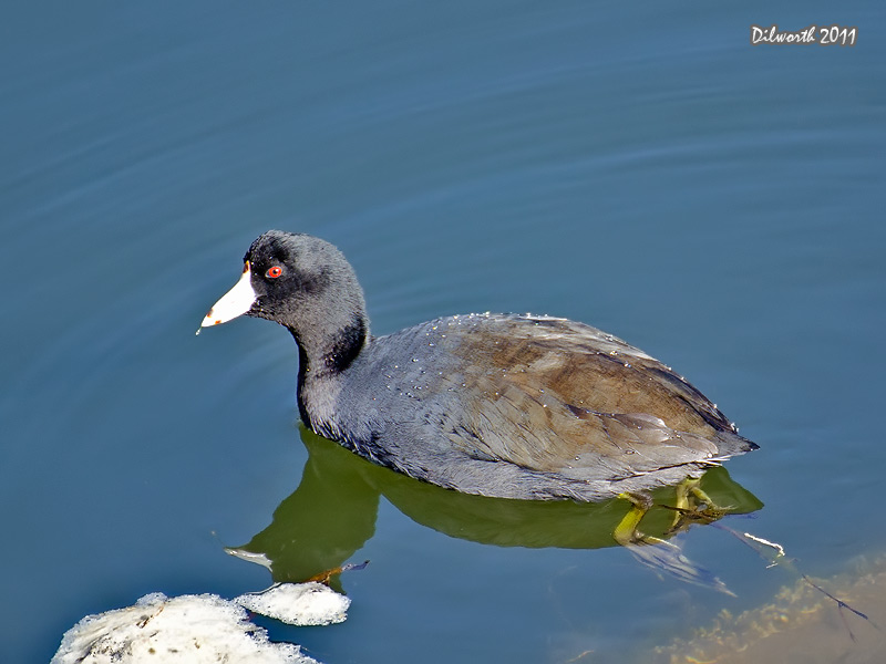 991 American Coot