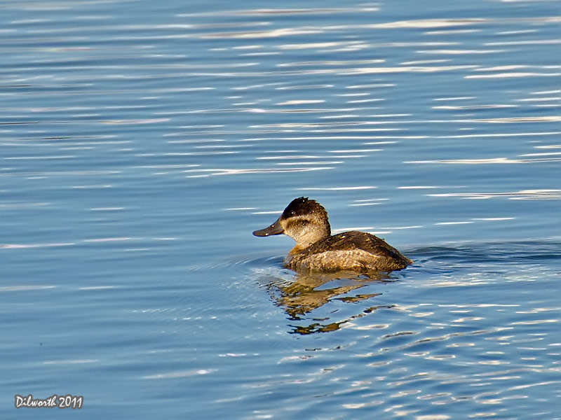 996m Ruddy Duck