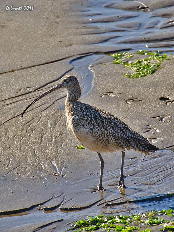 v997 Long-billed Curlew