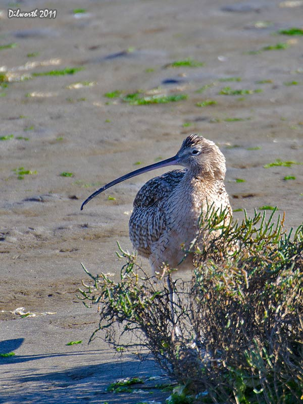 v997m1 Long-billed Curlew