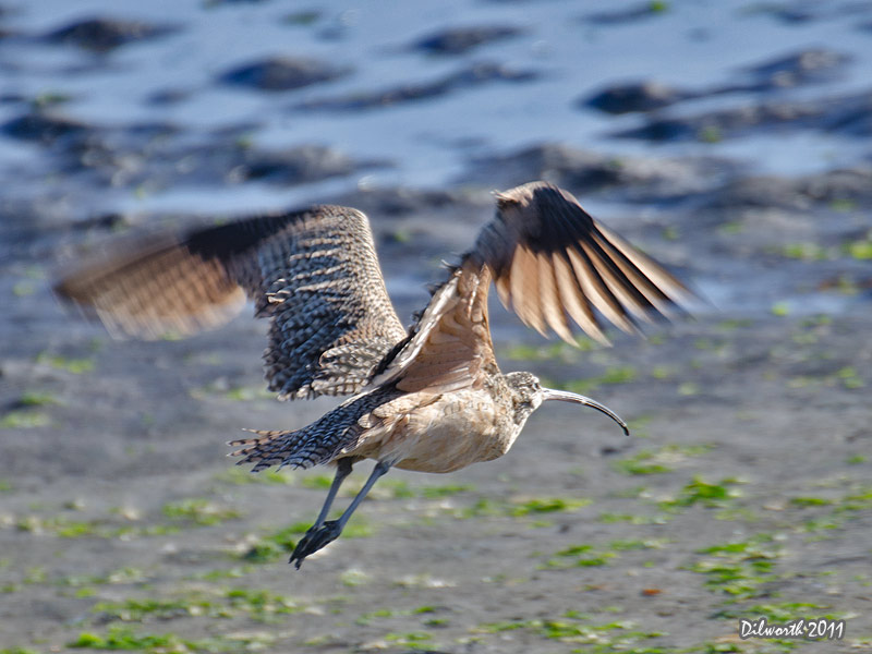 997m2 Long-billed Curlew