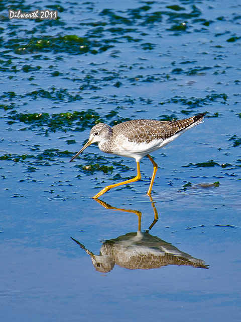 v998 Greater Yellowlegs