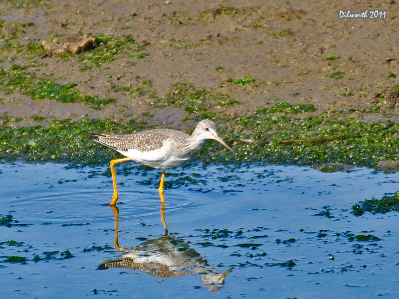 998m1 Greater Yellowlegs