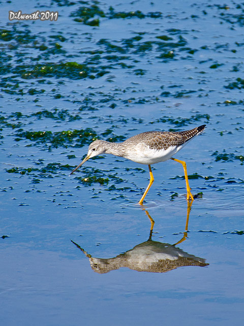 v998m2 Greater Yellowlegs
