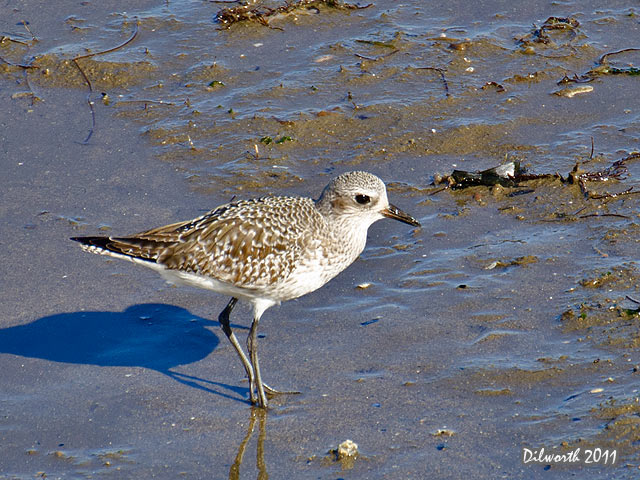 999 Black-bellied Plover