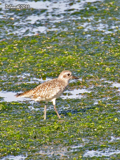 v999m1 Black-bellied Plover