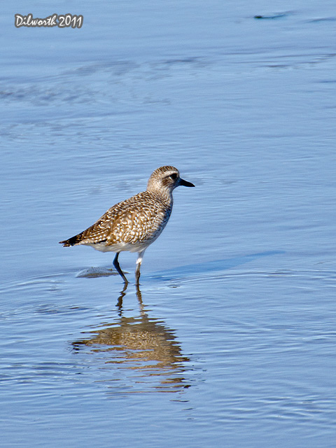 v999m2 Black-bellied Plover