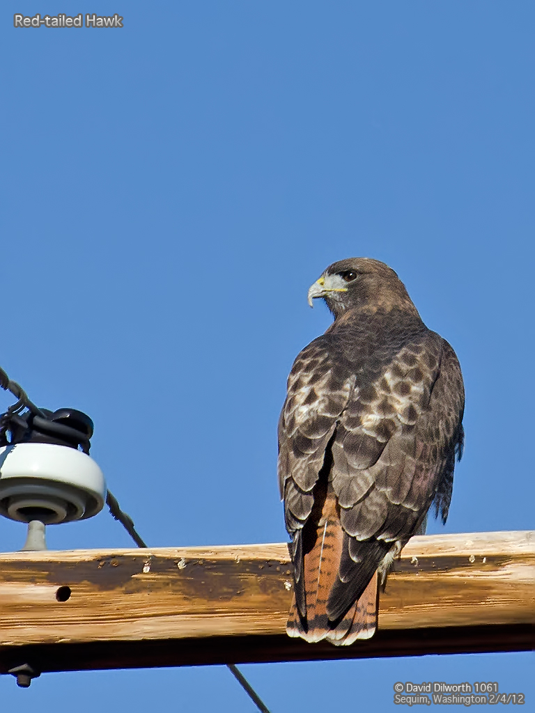 1061 Red-Tailed Hawk
