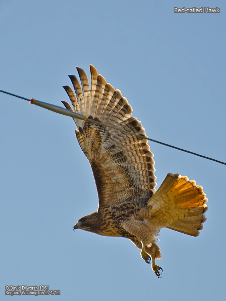 1061m Red-Tailed Hawk
