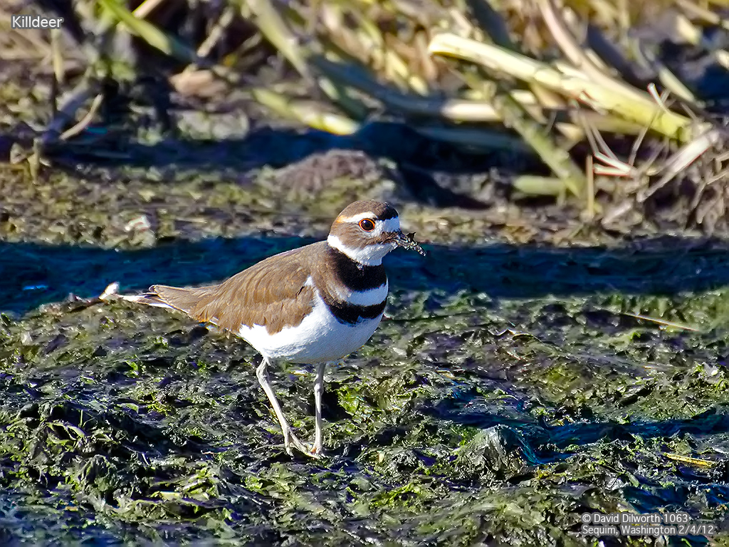 1063 Killdeer