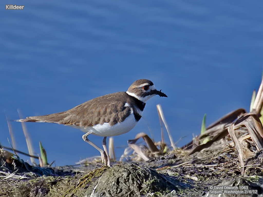 1063m4 Killdeer