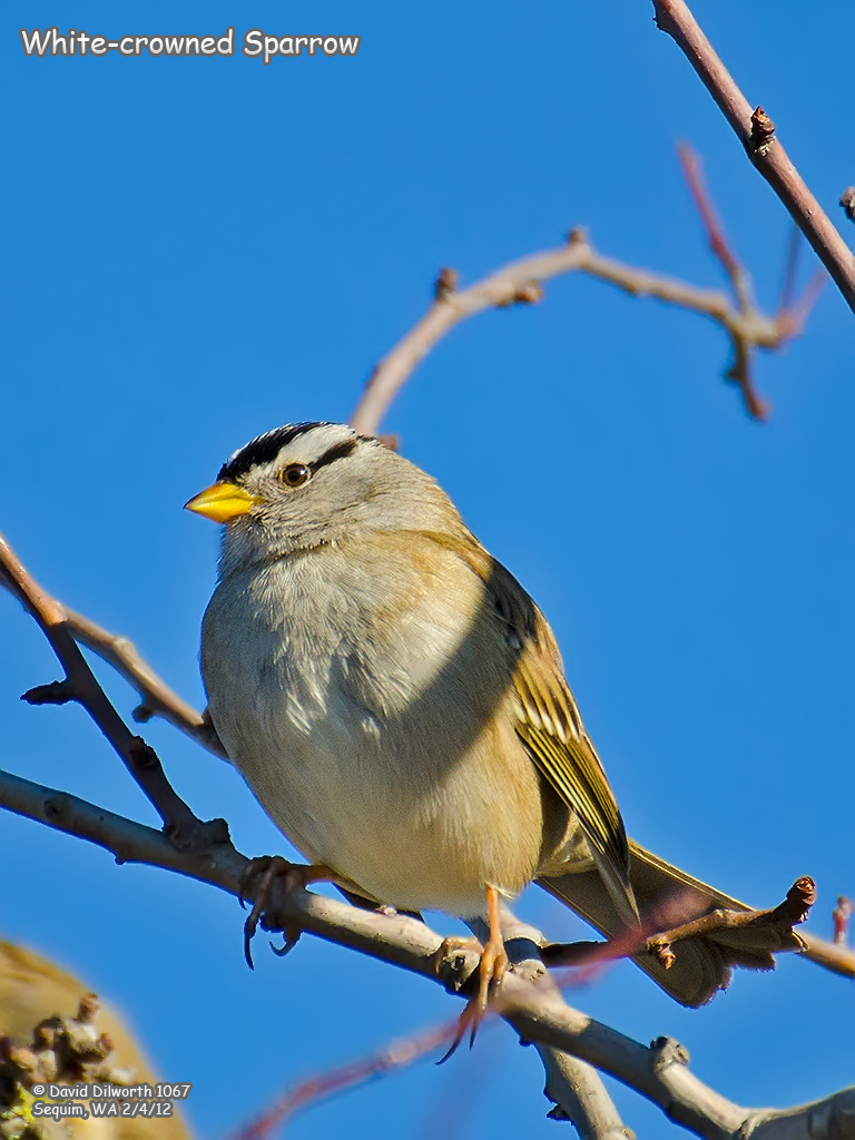1067 White-crowned Sparrow