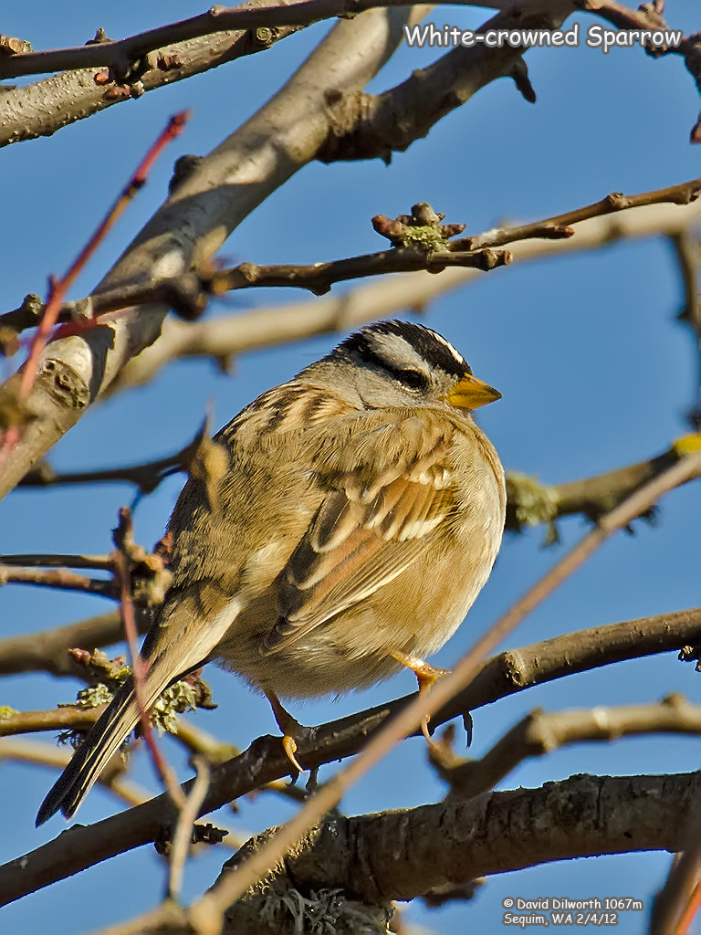 1067m White-crowned Sparrow