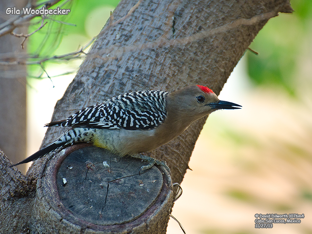 1076m4 Gila Woodpecker