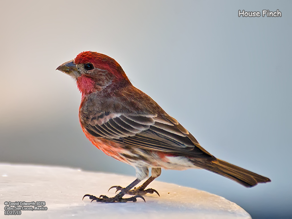 1078 House Finch