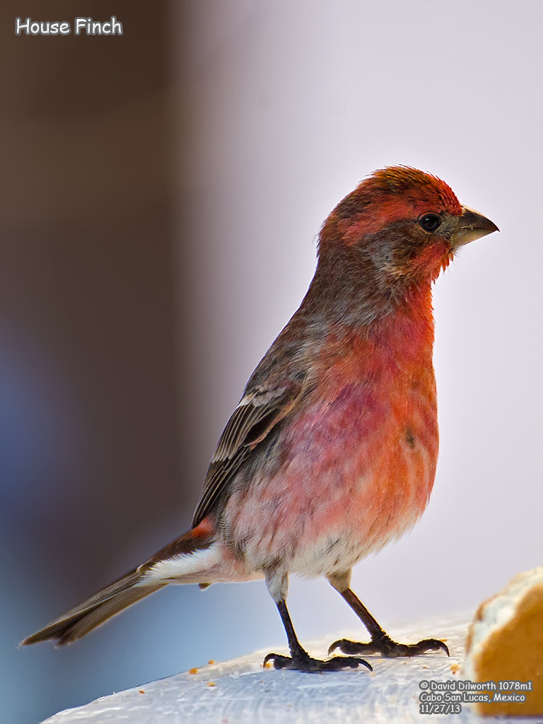 1078m1 House Finch