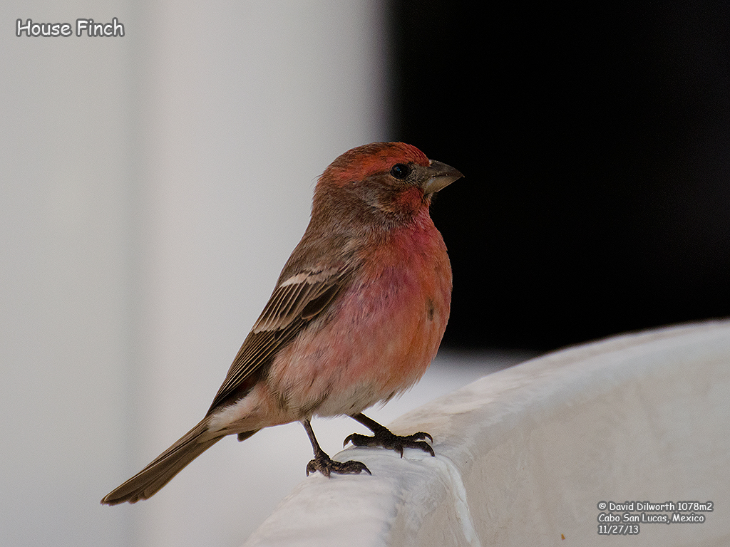 1078m2 House Finch