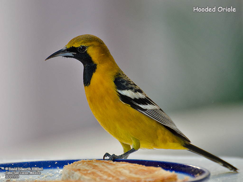 1080m1 Hooded Oriole