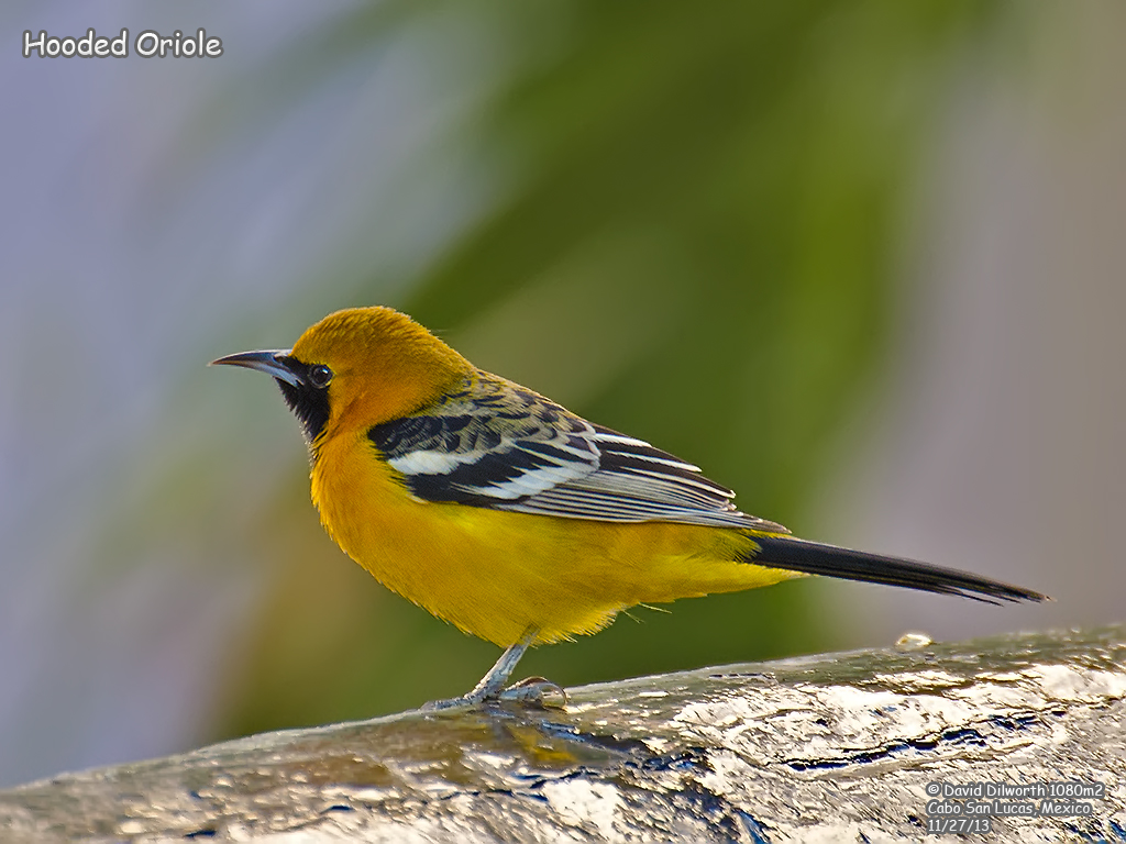 1080 Hooded Oriole