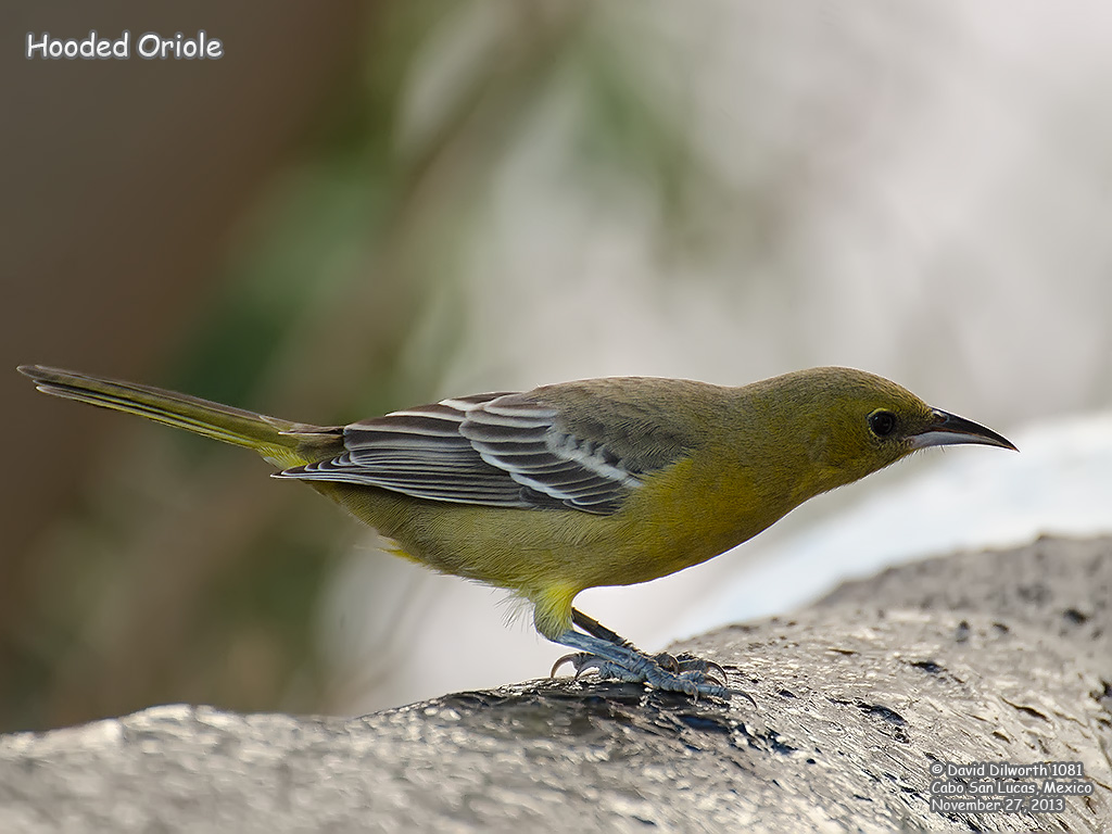 1081 Hooded Oriole