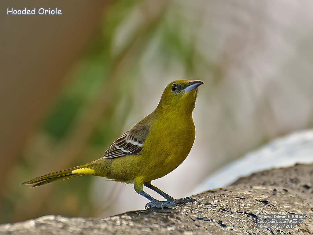 1081m2 Hooded Oriole