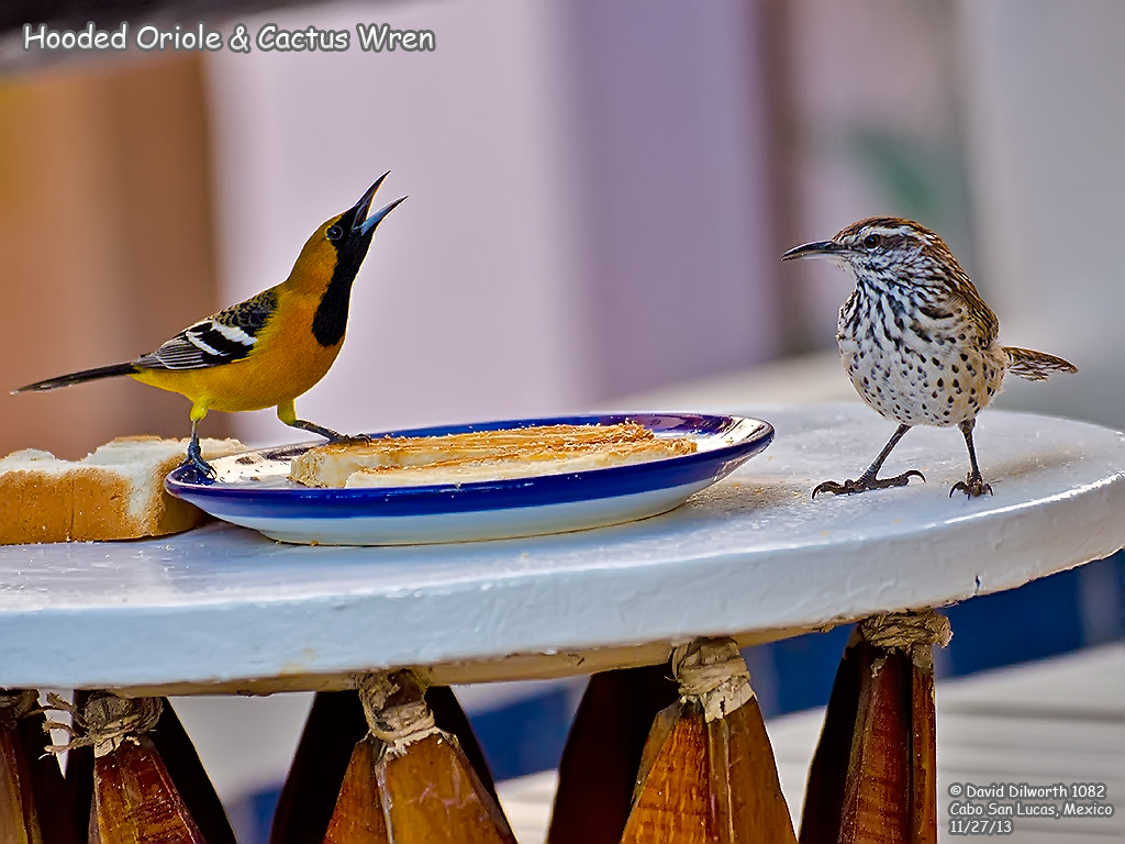 1082 Hooded Oriole & Cactus Wren