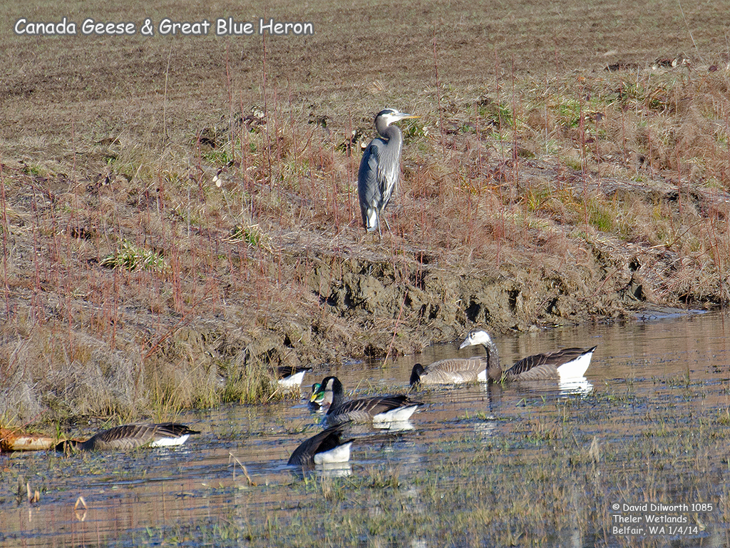 1085 Great Blue Heron & Canada Geese