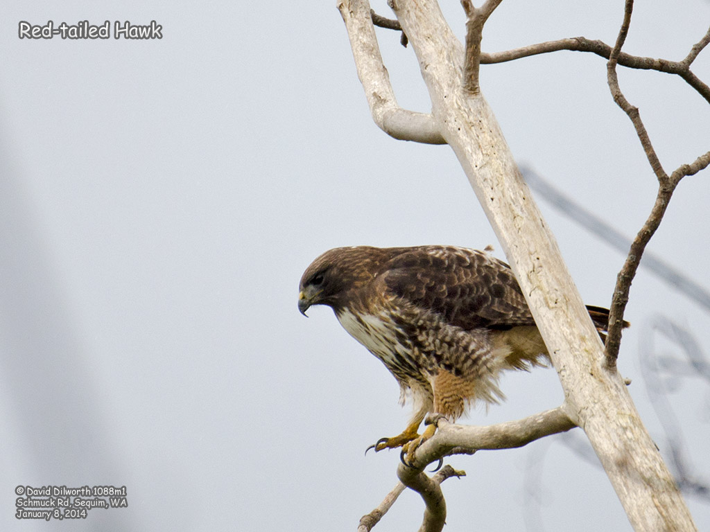 1088m1 Red-tailed Hawk