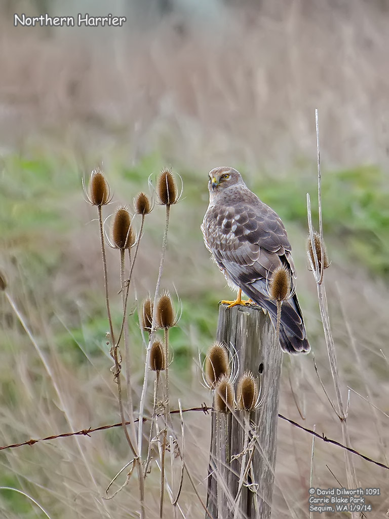 1091 Northern Harrier
