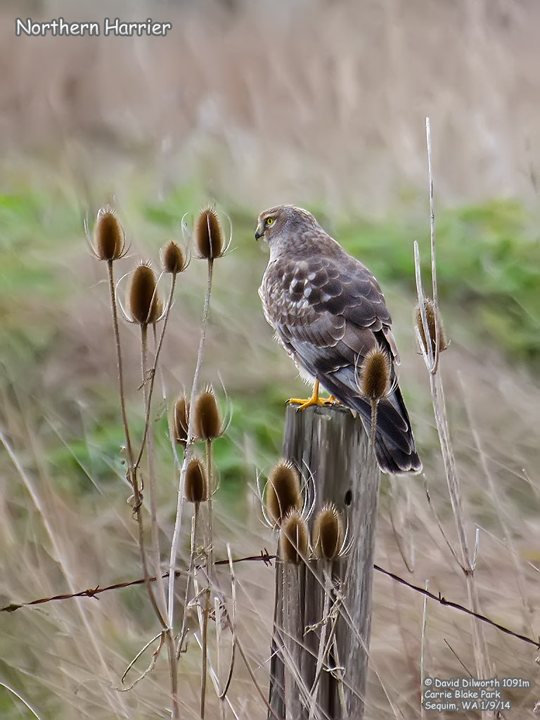 1091m Northern Harrier