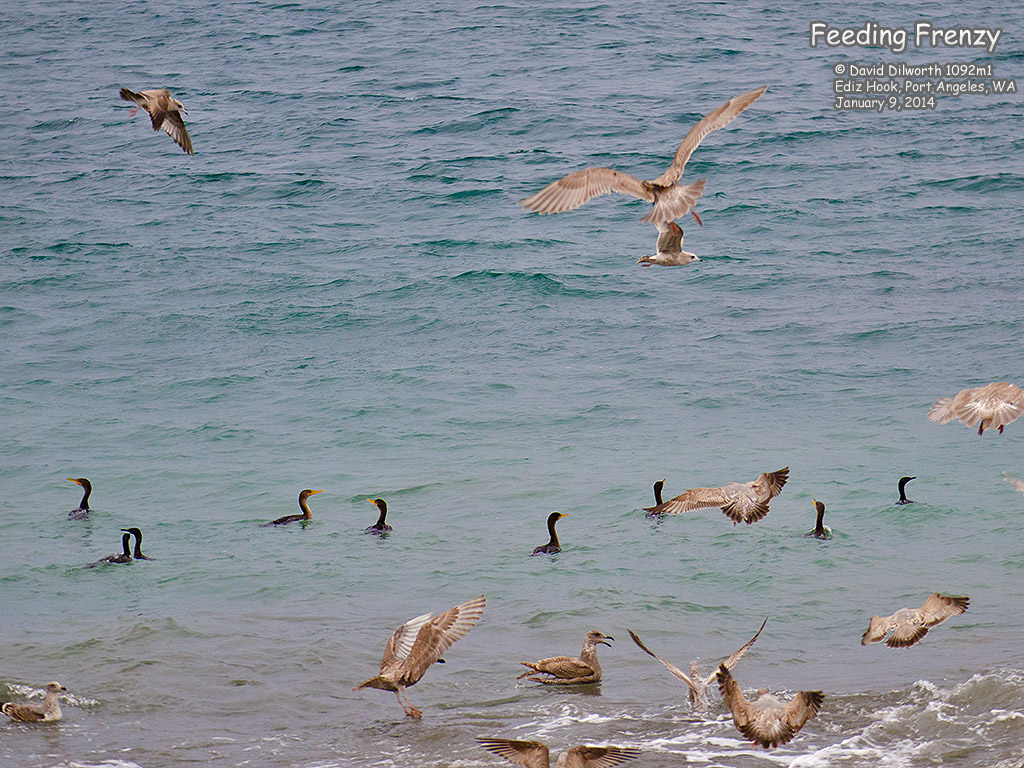 1092m1 Gulls & Cormorants – Feeding Frenzy