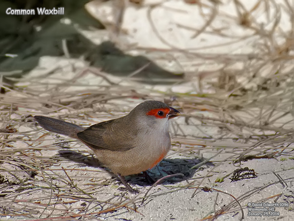 1096 Common Waxbill