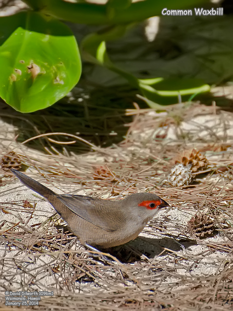 1096m1 Common Waxbill
