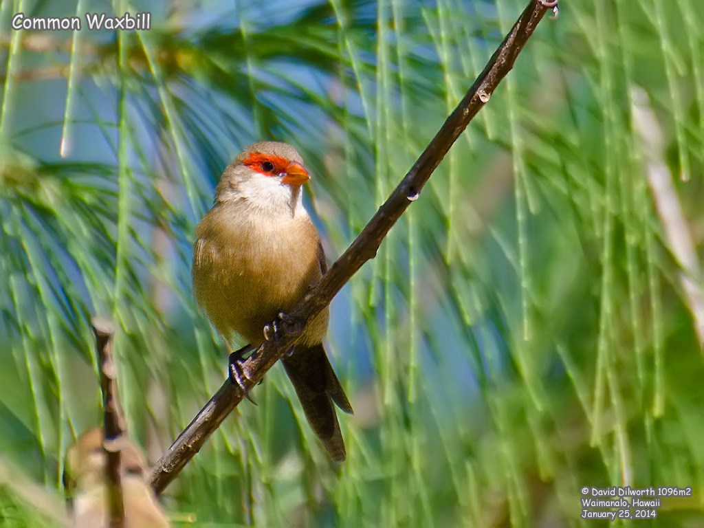 1096m2 Common Waxbill