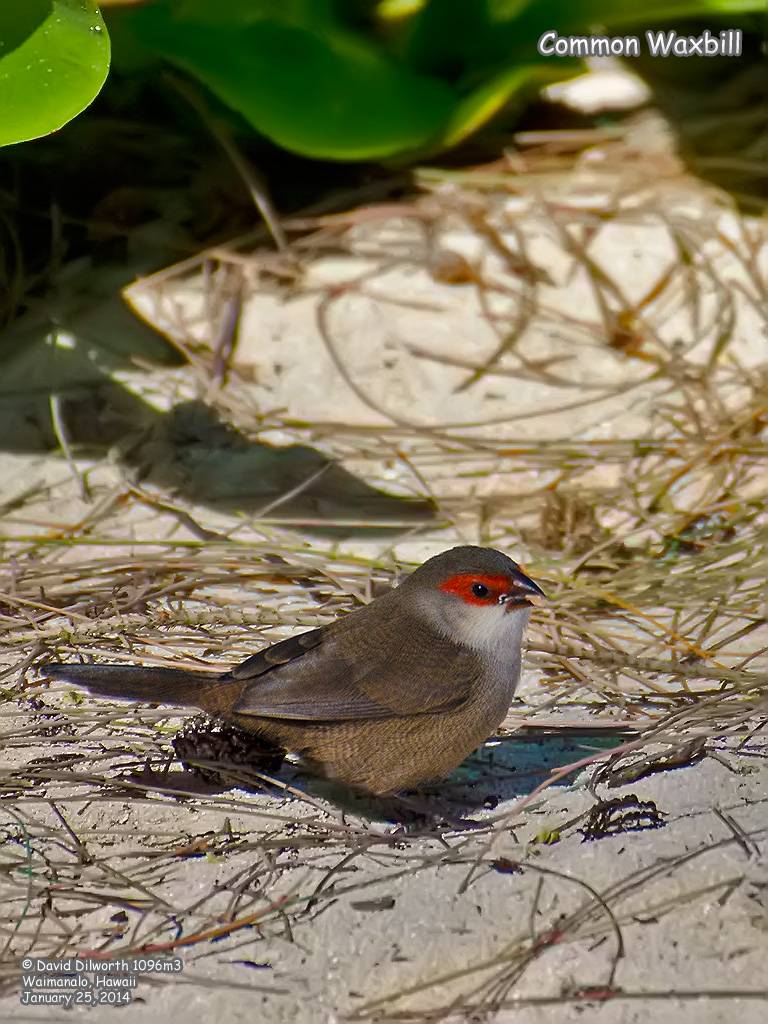 1096m3 Common Waxbill