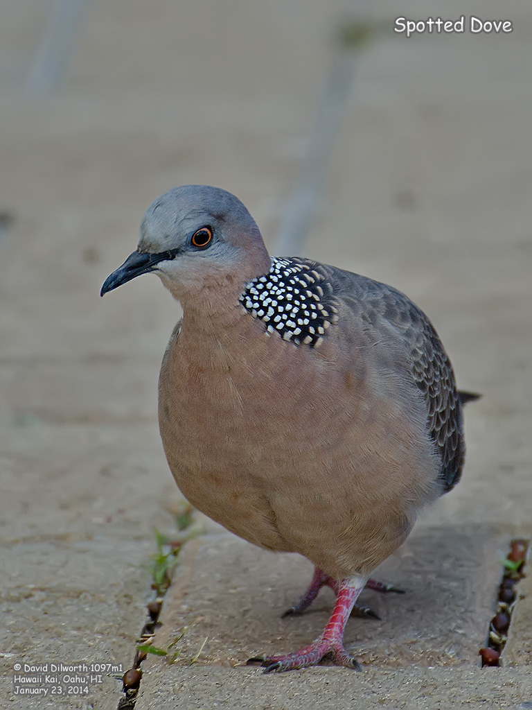 1097m1 Spotted Dove