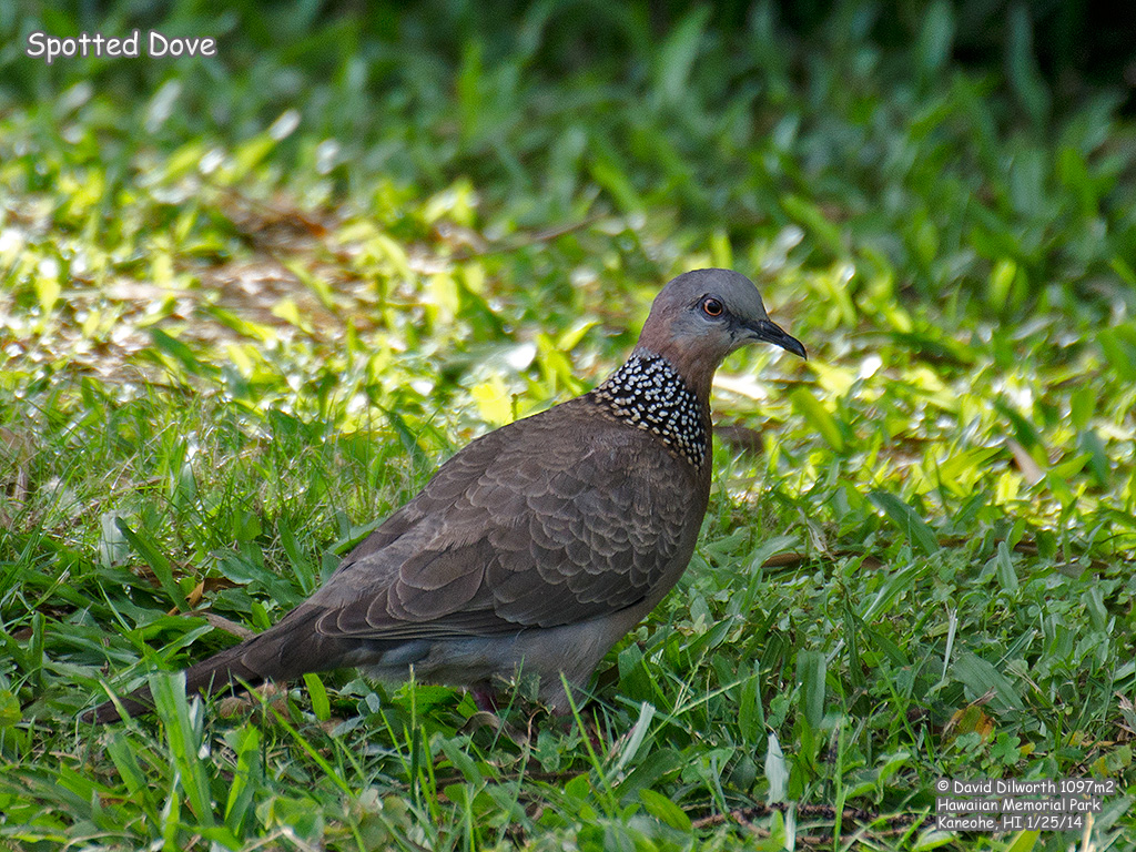 1097m2 Spotted Dove