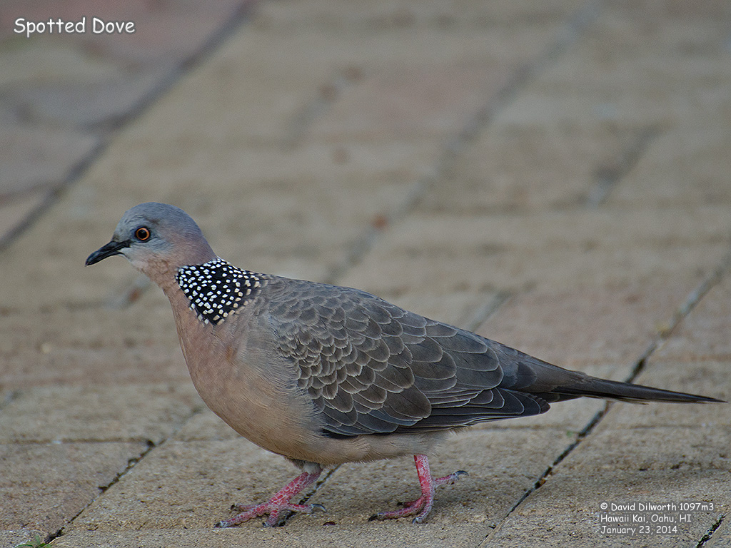 1097m3 Spotted Dove